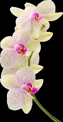 Emeline moutiez orchidee